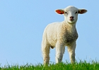 Scientists use retroviruses to unravel woolly history of sheep domestication