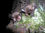 Lone male bat rewrites the record books