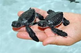 82 healthy sea turtles hatch at San Diego SeaWorld (AP)