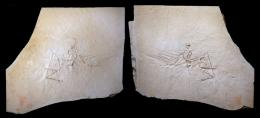 Slab and counter slab of the Munich Archaeopteryx