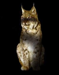 A Balkan lynx