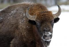 A bison walks in the Bialowieza National Park