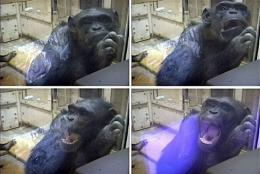 A chimpanzee yawning after being shown videos of other chimps yawning in 2003