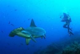 A diver photographing a hammerhead shark