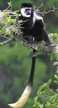 African leaf-eating monkeys are 'likely to be wiped out' by climate change