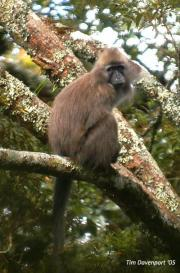 Africa's rarest monkey had an intriguing sexual past, DNA study confirms
