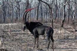 A giant sable antelope