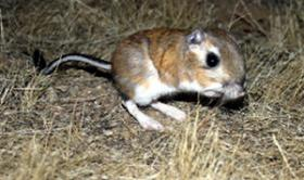 A Kangaroo Rat in the wild.