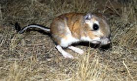 A Kangaroo Rat in the wild.