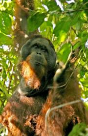 A male flanged orangutan hangs from a tree in Malaysian Borneo's Sabah State