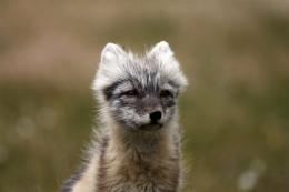 An Arctic Fox near Kangerlussuaq, Greenland