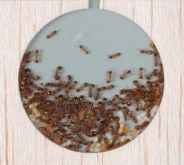 Ants more rational than humans