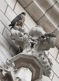 A Peregrine Falcon in seen in Brussels in 2008