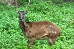 A rare Visayan spotted deer is seen in the Philippines