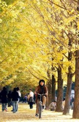 A South Korean woman rides a bicycle along a road covered with fallen leaves in Nami, Chuncheon,