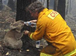 Aussie koala that survived fires dies in surgery (AP)