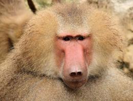 Baboon