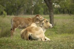 Breeding their horns off -- a winner