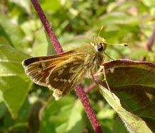 British butterfly reveals role of habitat for species responding to climate change