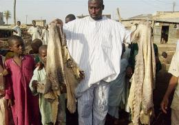 Business is booming at Ismail Dauda's crocodile tannery in northern Nigeria