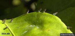 Calif. citrus farmers fear tree-killing disease (AP)