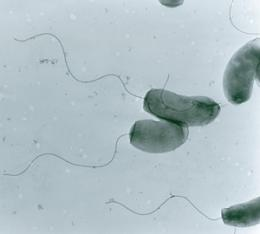Cholera bacteria show adaptability to changing environments