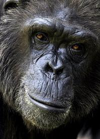 Close up of a chimpanzee