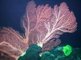 Corals on Davidson Seamount
