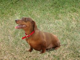 Dog: Dachshund