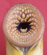 Evolution of a contraceptive for sea lamprey