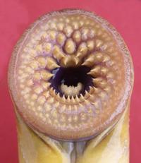 Evolution of a contraceptive for sea lamprey