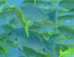 Fish Sense Other Fish Via Ripples