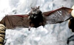 Forest Service closes caves to stop bat fungus (AP)