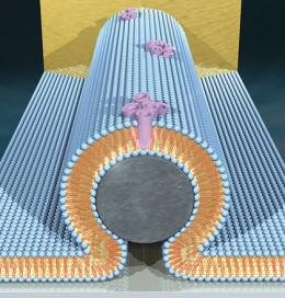 Fusion of Nanocircuits, Bio-membranes Creates New Hybrid Technology