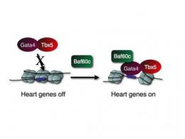 Gladstone scientists identify key factors in heart cell creation