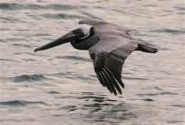 Gov't says brown pelicans are endangered no longer (AP)