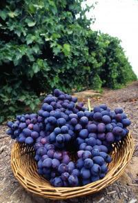 Hear! Hear! Texas wines fight cancer growth