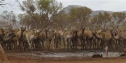 Invading camels to be shot in Australian town (AP)