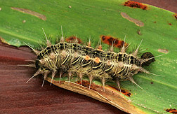 Invasive Nettle Moth Triggers Hawaii Research