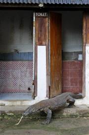 Komodo dragon attacks terrorize Indonesia villages (AP)