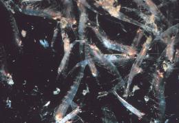 Krill swarm