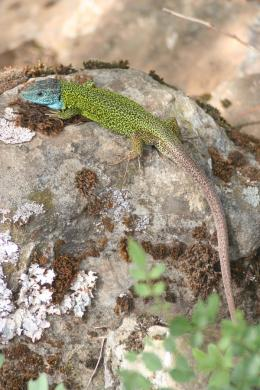 A new parasite has been discovered in black green lizards from the Iberian Peninsula