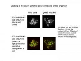 Landmark study sheds new light on human chromosomal birth defects