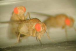 Male fruit flies change to gain reproductive edge