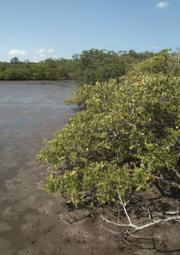 Mangroves Save Lives In Storms