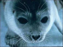 Mercury levels in Arctic seals may be linked to global warming