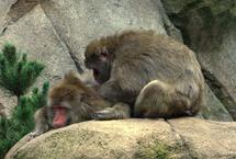 Monkeys' grooming habits provide clues to how we socialise