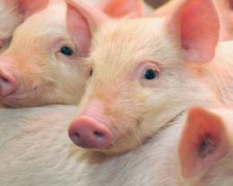 Muscling in on a mystery protein: Study of brawny pigs reveals key player in the genome