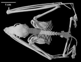 Mystacina tuberculata, New Zealand Short-tailed Bat