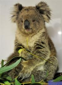 Nearly 90 percent of koalas in Japanese zoos are infected with a virus